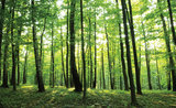 Forest Photo Wallpaper Mural 186P8_