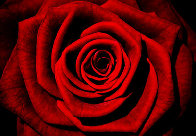 Red Rose Photo Wall Mural 13487P8