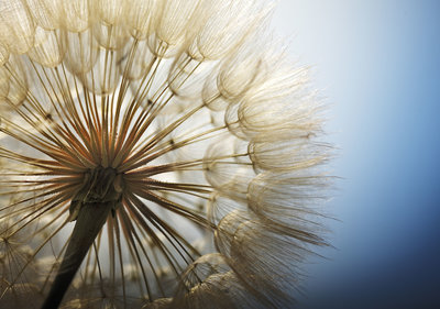 Dandelion Photo Wall Mural 11792P8