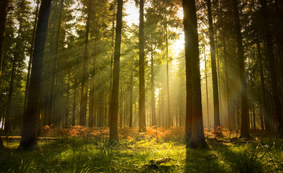 Forest Photo Wall Mural 576P8