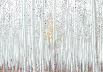 Forest Photo Wall Mural 12593P8