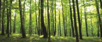 Green Forest Panoramic Photo Wall Mural 186VEP