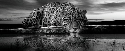 Creeping Jaguar in Black and White Panoramic Photo Wall Mural 218VEP