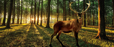 Deer in Sunny Forest  Panoramic Photo Wall Mural 3194VEP