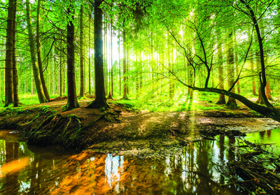 Forest Photo Wall Mural 10513P8