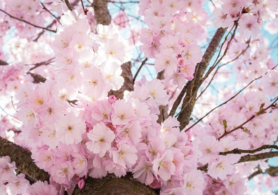 Cherry Blossom Photo Wall Mural 13283P8